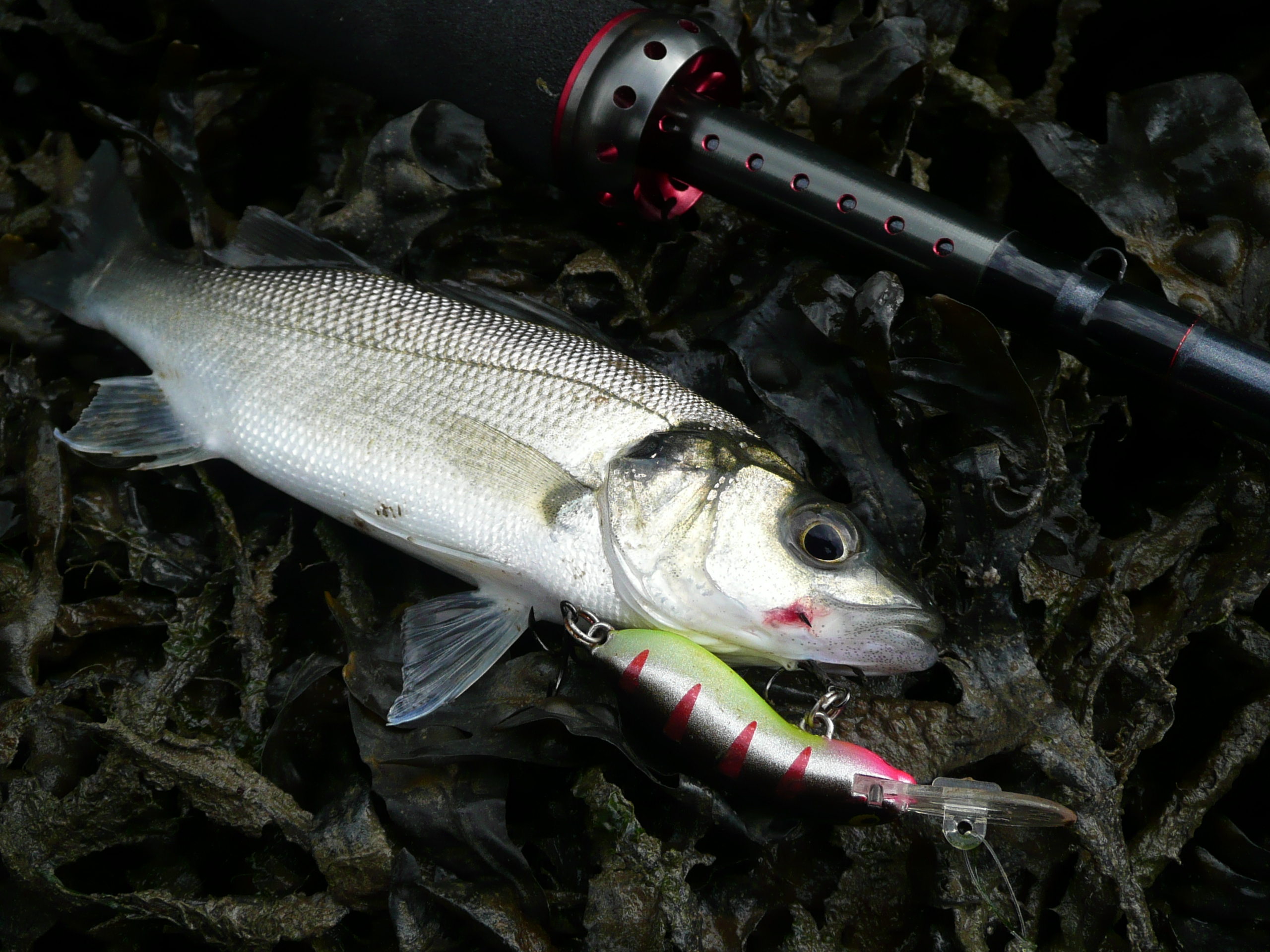Small Bass on Halco Scorpion 35