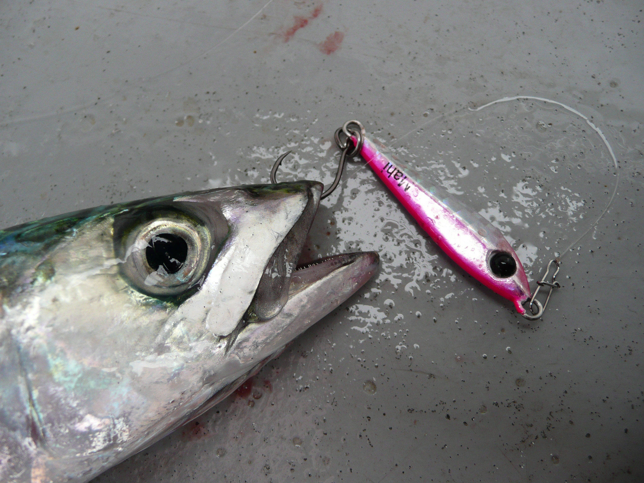 Mackerel on Mahi Jig
