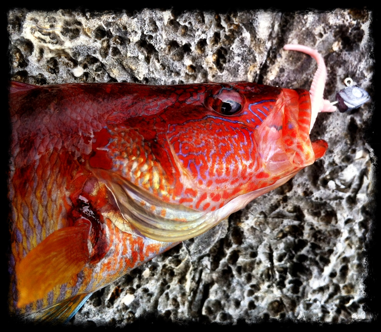 Brightly Coloured Sea Perch