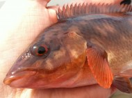 Red Wrasse Close Up