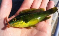 Bright Green Wrasse