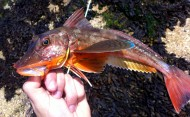 Colourful Tub Gurnard