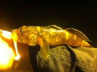 Rock Goby on Reins Ringer Shad