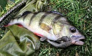 Perch on Reins Bubbling Shad