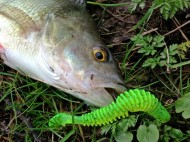 Chartreuse Reins Bubbling Shad