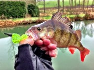 Lure Caught Perch