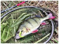 Pretty Perch in the Net