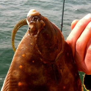 Plaice on Reins Lure
