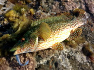 Male Ballan Wrasse on Plastic