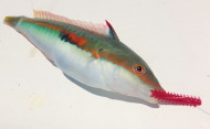 Rainbow Wrasse on Isome