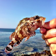 Scorpion Fish Rhodes
