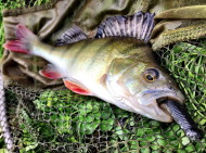 Perch on Ecogear M Grass Minnow