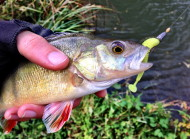 Small Perch on Keitech Lure