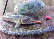 Goby on Decoy Shore Drop