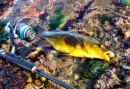 Gold Wrasse For Masa