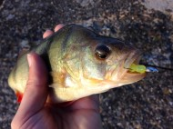 Perch Engulfed Ecogear Lure