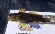 Rock Goby at Plymouth