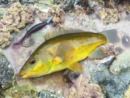 Wrasse on Molix Sligozzo