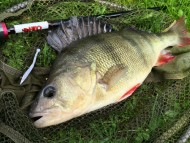 2lb 4oz Perch on HTO Flail