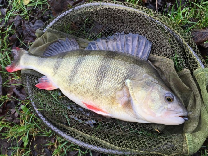 3lb 2oz Canal Perch