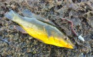 Wrasse on Breaden Bachi Worm
