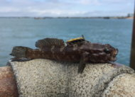 Rock Goby Langstone Harbour