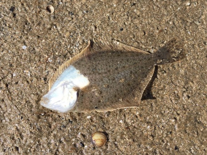 Double-sided Flounder