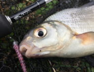 Silver Bream on a Lure