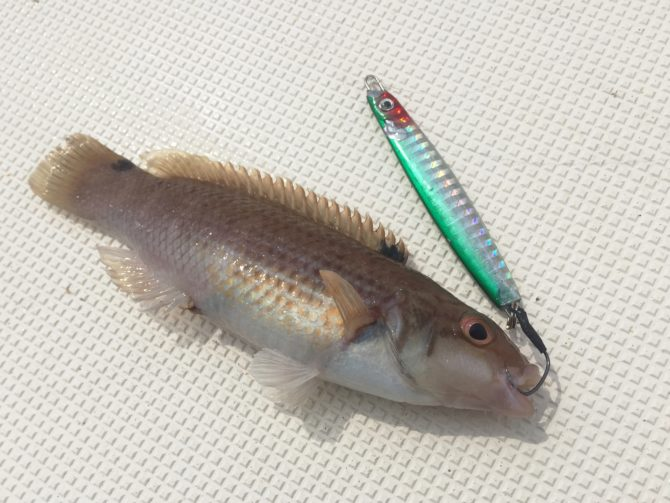 Goldsinny Wrasse on Metal Jig