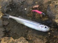 Sabd Smelt on Pink Knight Worm