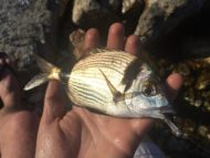 Two-banded Seabream on Knight Worm