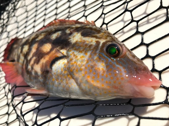 LRF Baillons Wrasse