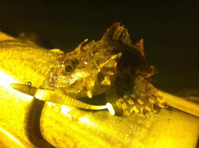 Scorpion Fish on Aji Ringer Shad