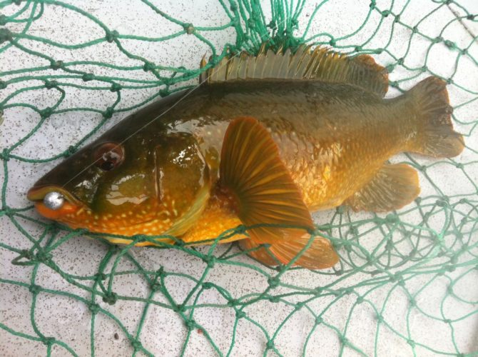 Boat Caught Wrasse