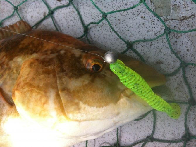 Wrasse on Reins Bubbling Shad