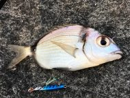 Two-banded Seabream in Lefkas