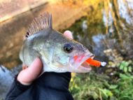 Perch on Bright Lure