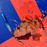 Scorpionfish on Metal Jig