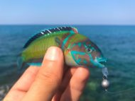 Ornate Wrasse on Lure