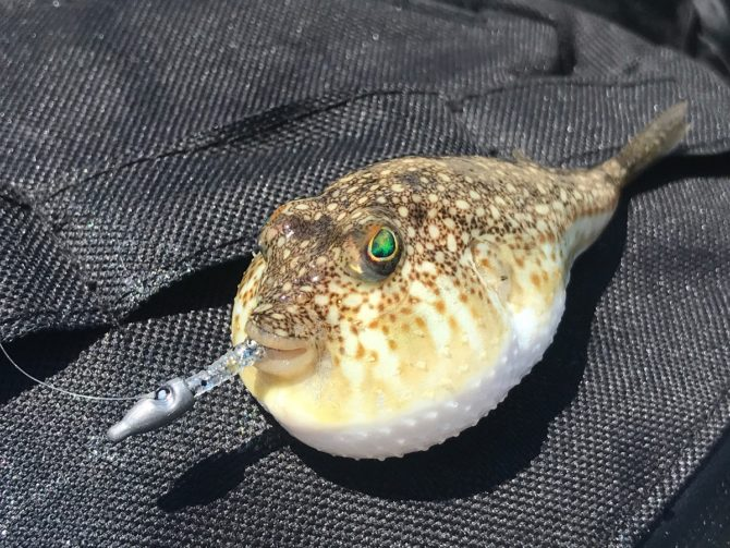 Yellowspotted Pufferfish