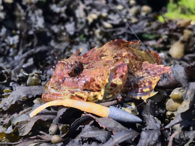 Scorpionfish on Straw Tail Lures