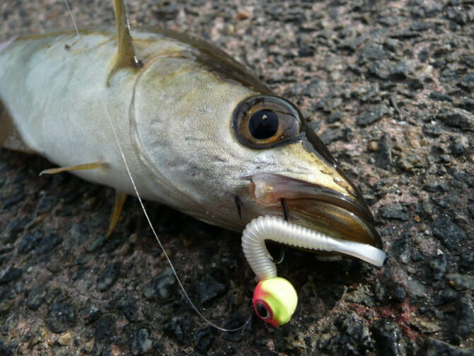 Pollack on Daiwa Curly Tail