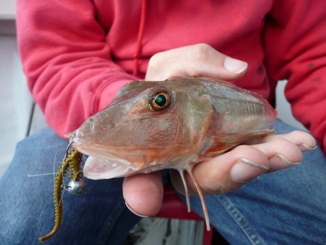 Gurnard on Gulp Sandworm