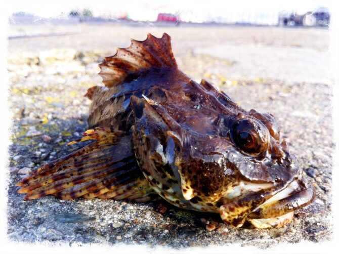 Long Spined Scorpion Fish