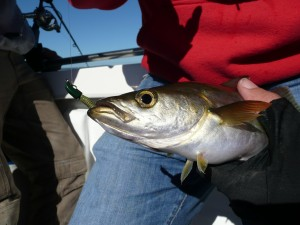 Pollack on Floating Trout Worm