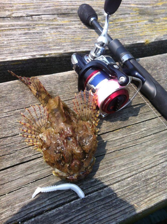 Scorpion Fish on Reins Rockvibe