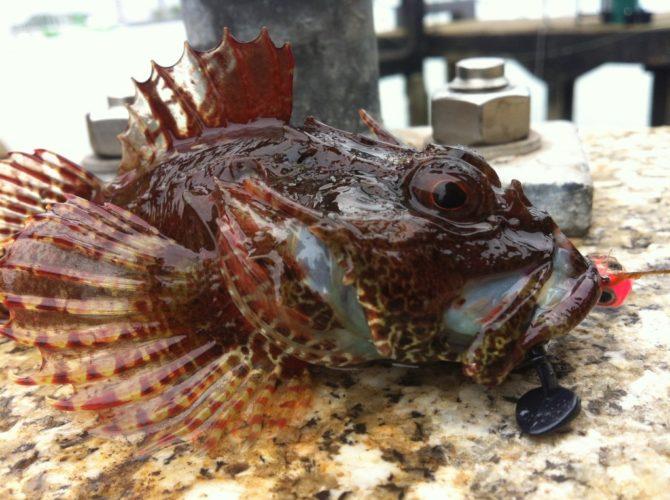 Sea Scorpion on Black Lure