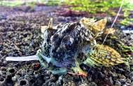 Sea Scorpion on Dropshot