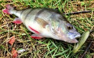 Perch on Daiwa Tournament D Tail Lure