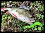 Perch on Chartreuse Bubbling Shad